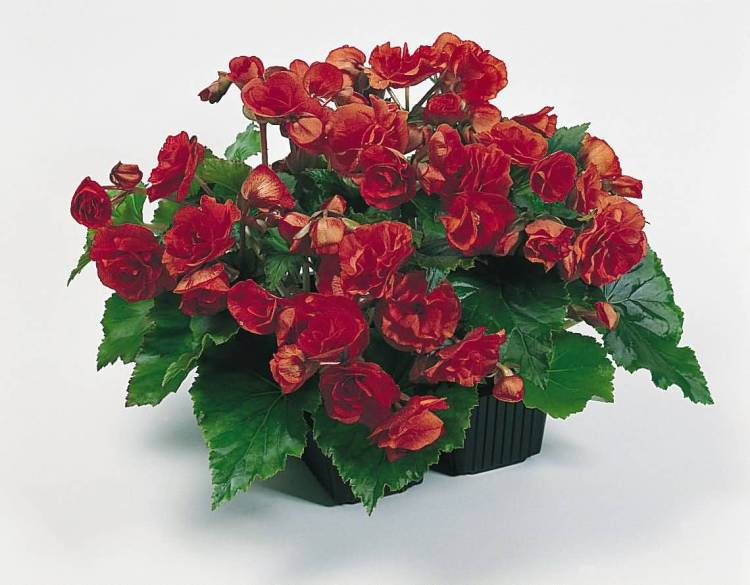 Out Standing Red Begonia Flower With Green Leafs
