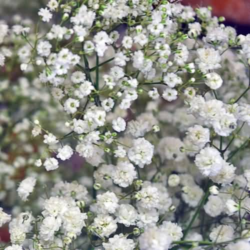 Out Standing White Baby's Breath Flower in Plants