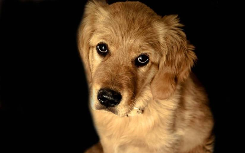 Sad Brown Dog On A Black Background Full Hd Wallpaper