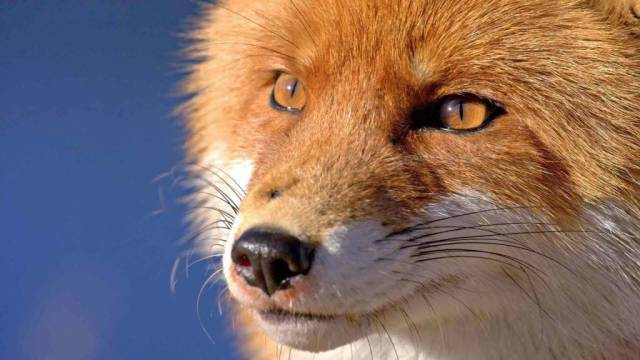 Scene Close To The Eyes Red Fox 4k Wallpaper