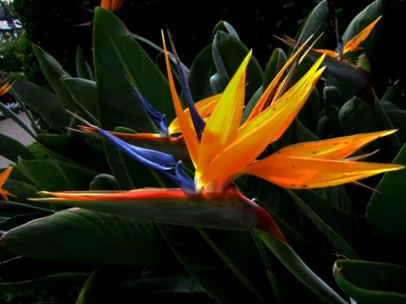 Stunning Bird Of Paradise Flower For Decoration