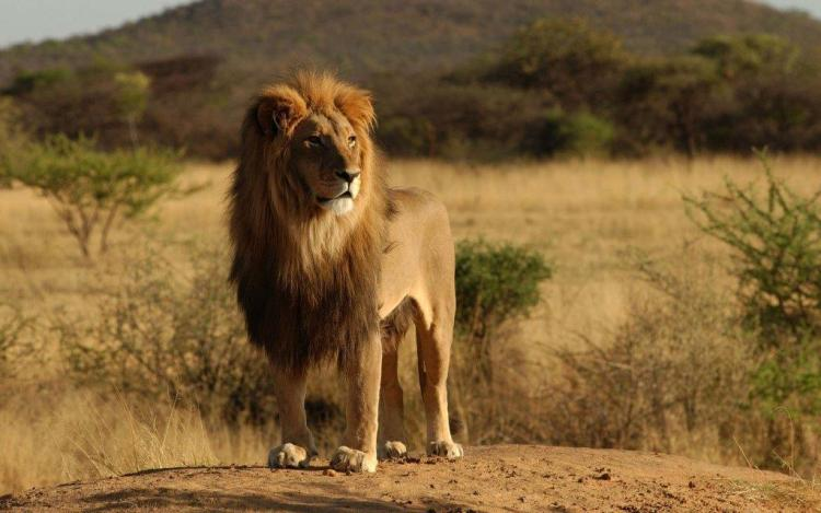 Stunning Lion Stand With Confidence Full Hd Wallpaper