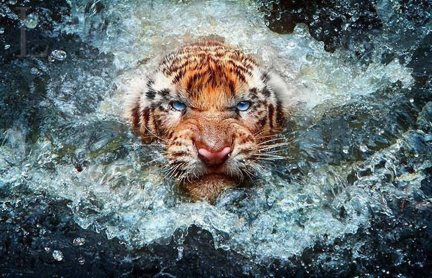 Harry Styles Fall Wallpaper 29 Aggressive Tiger Wallpaper Pictures Photos Amp Images