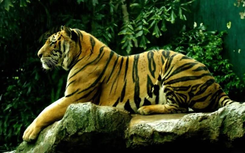 The Predator Tiger In The Jungle in 4K Wallpaper