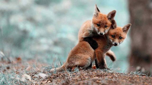 Two Young Red Foxes Full Hd Wallpaper