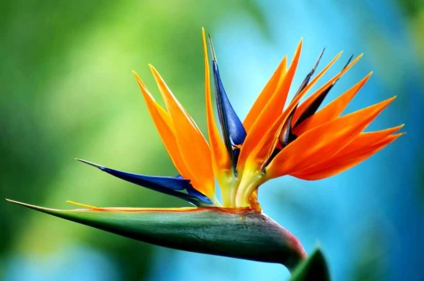 Unique Bird Of Paradise Flower Plant With Awesome Background