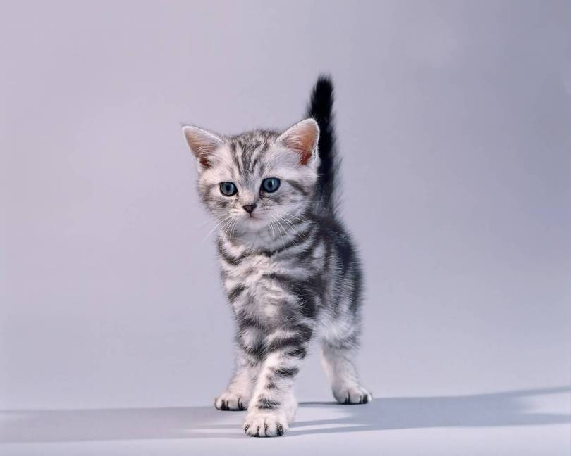 Very Beautifull American Shorthair Cat Baby For Home