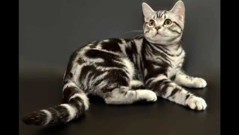 Very Beautifull American Shorthair Cat Sitting On bed And Looking Up