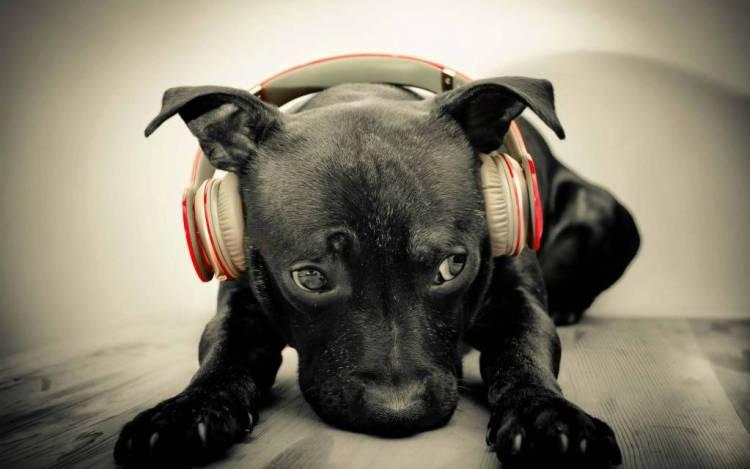 Very Cute Black Dog Wearing A Headphone Full Hd Wallpaper