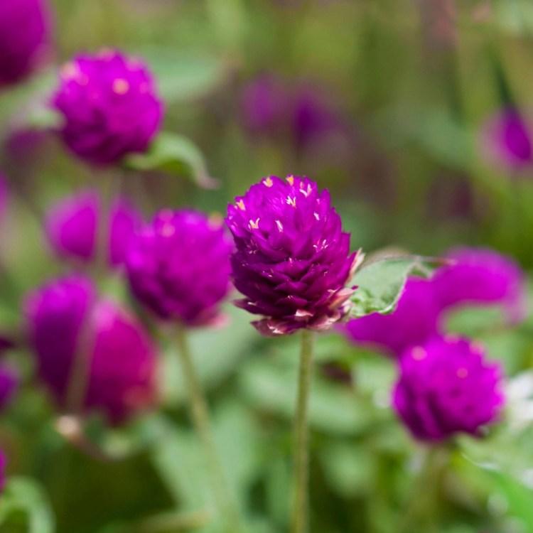 Very Nice Eye Catching Amaranth Purple Globe Flowers Grown In Plant