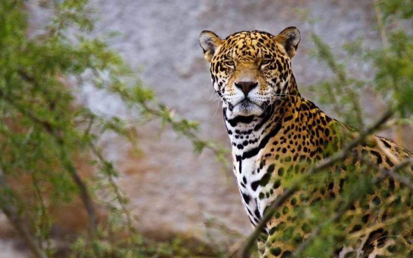 Very Stunning Leopard 4k Wallpaper