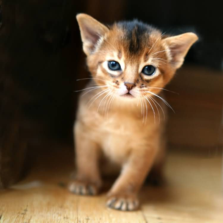 Very beautifull Abyssinian Kitten With black Eyes