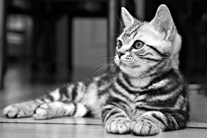 Very beautifull Black And White Photo Of female American Shorthair Cat