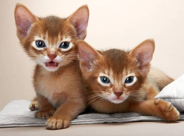 Very beautifull Black Eyes Abyssinian Cats Baby Kittens sitting on bed