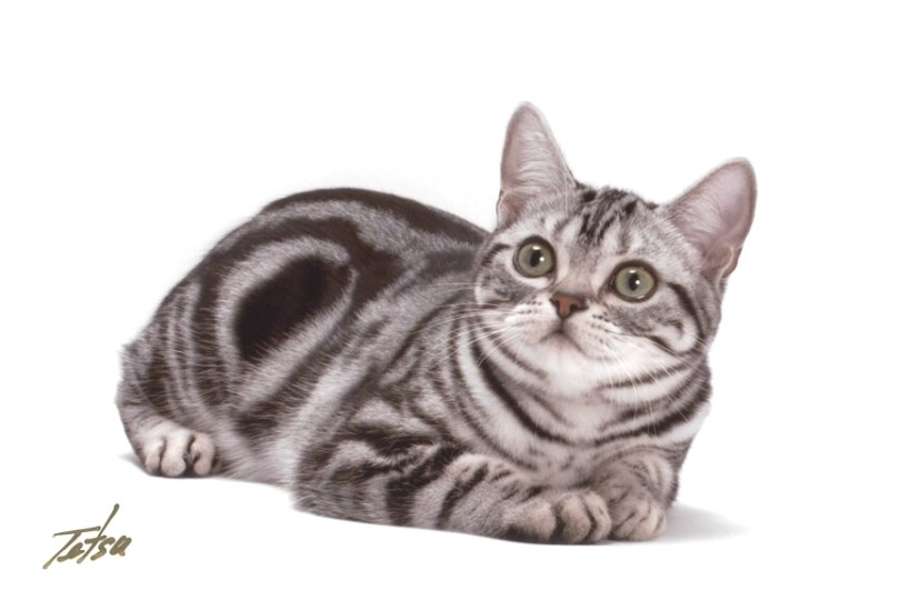 Very clever Female American Shorthair Cat Looking At food