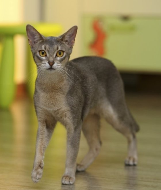 Very clever Grey Abyssinian Cats Standing