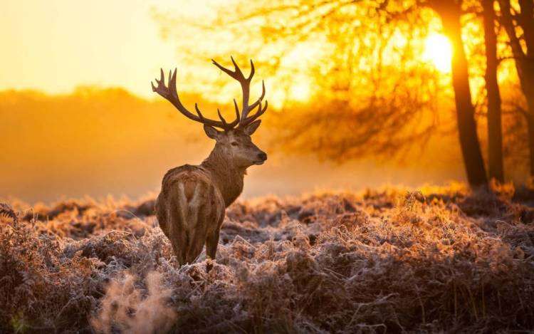 Wallpaper Of The Deer At Sunset Full Hd Wallpaper