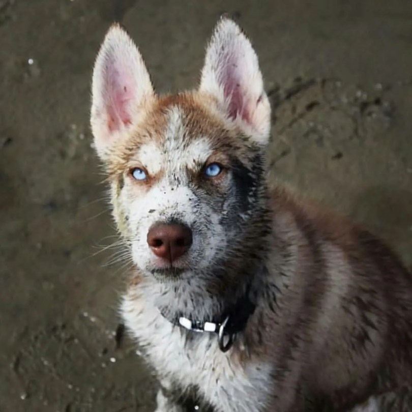 Wonderful Husky Dog Playing In Mud And Looks So Aggressive