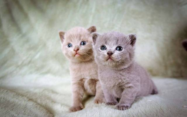Wonderful Kittens With Blue Eyes Full Hd Wallpaper