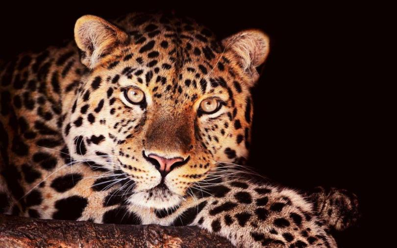 Wonderful Leopard Look At Us Full Hd Wallpaper
