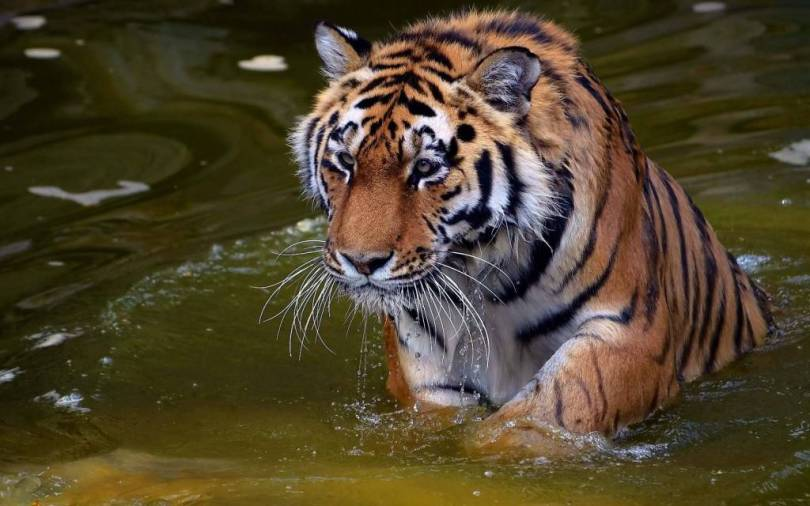 Wonderful Strong Tiger In the Water full HD wallpaper