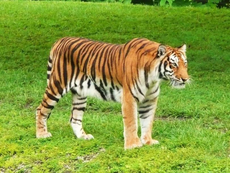 Wonderful Tiger Amid Greenery full HD wallpaper