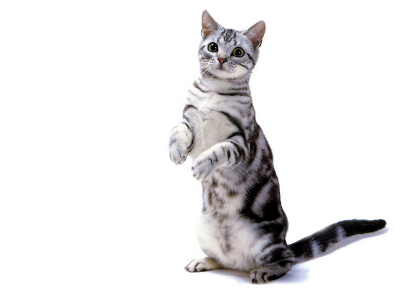Wonderful American Shorthair Cat Standing On Their Both Legs American Shorthair