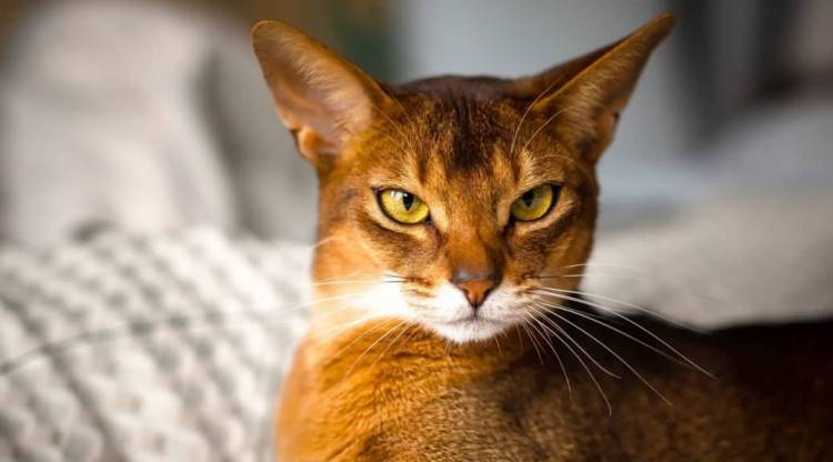 Wonderfull Ruddy Abyssinian Cats With nice Eyes