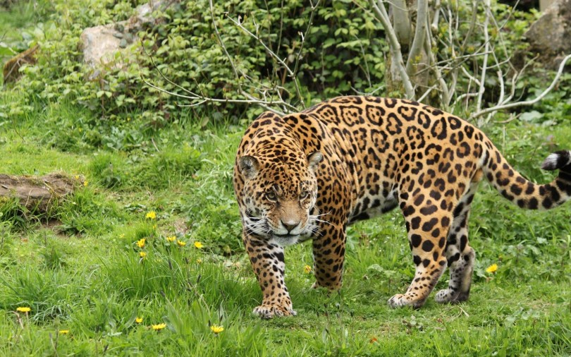 amazing-big-leopard-walks-in-the-fieldsfull-animal hd wallpaper