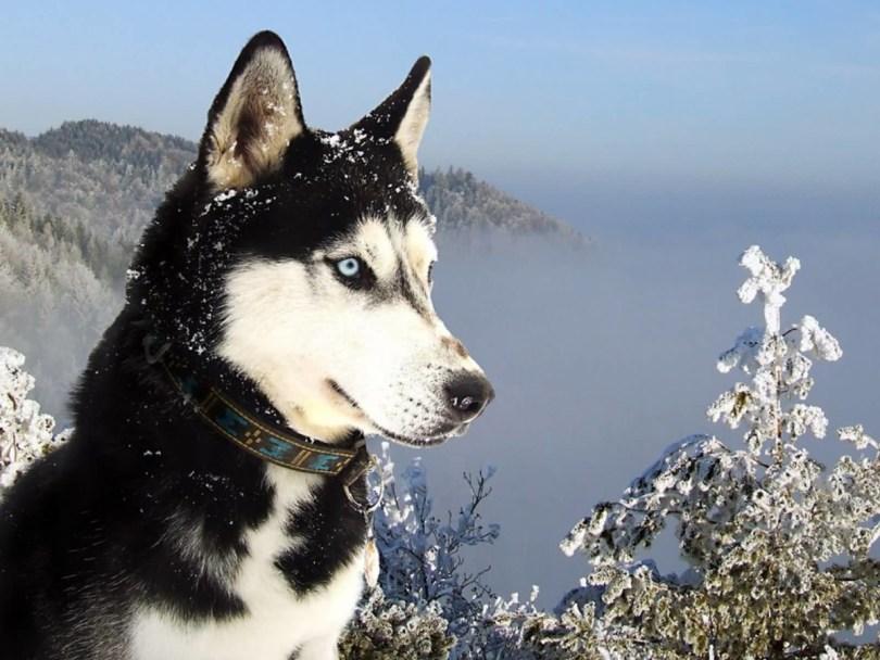 Amazing Siberian Husky Dog Image
