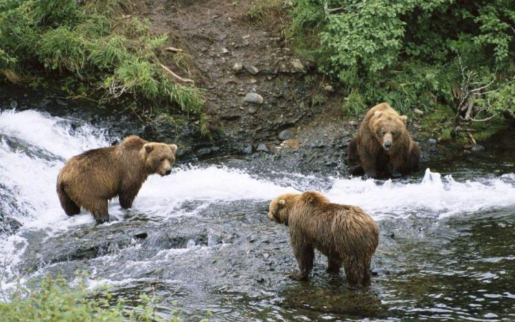 Amazing Three Grizzly Bears Next To The Water 4k Wallpaper