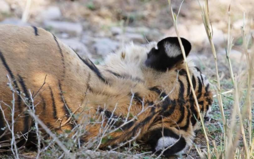 amazing Tiger Sleeping On The Land Full HD Wallpaper
