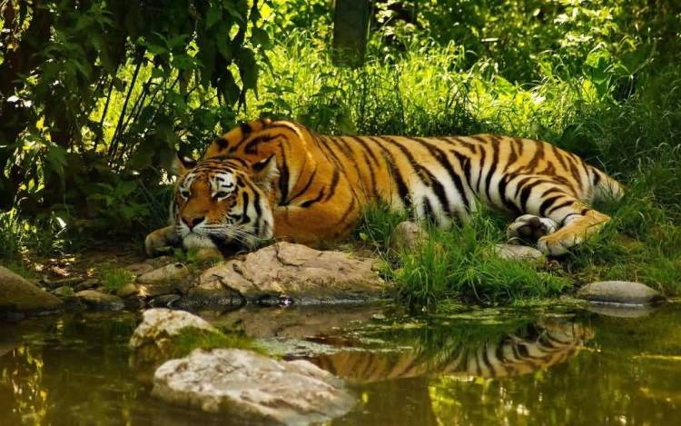 Awesome Big Tiger Next To Water Full Hd Wallpaper