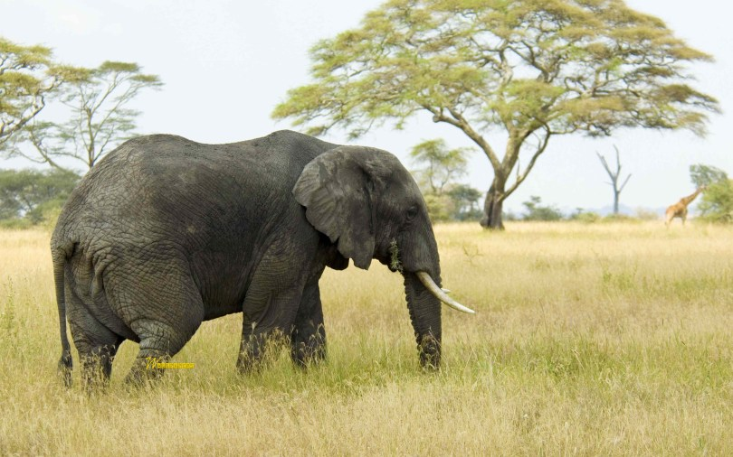 beautiful-elephant-and-giraffe-in-the-wild-full-hd-wallpaper