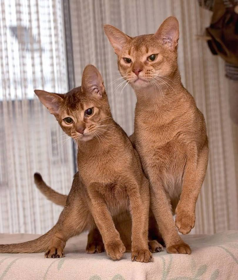 beautifull Red Ruddy Abyssinian Cats With Friend playing on the bed