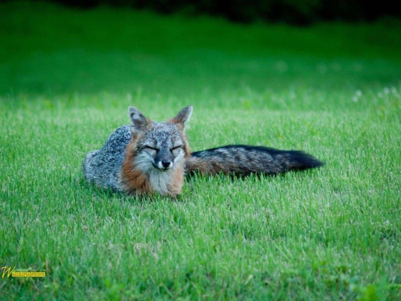 Cute Gray Fox Full Hd Wallpaper