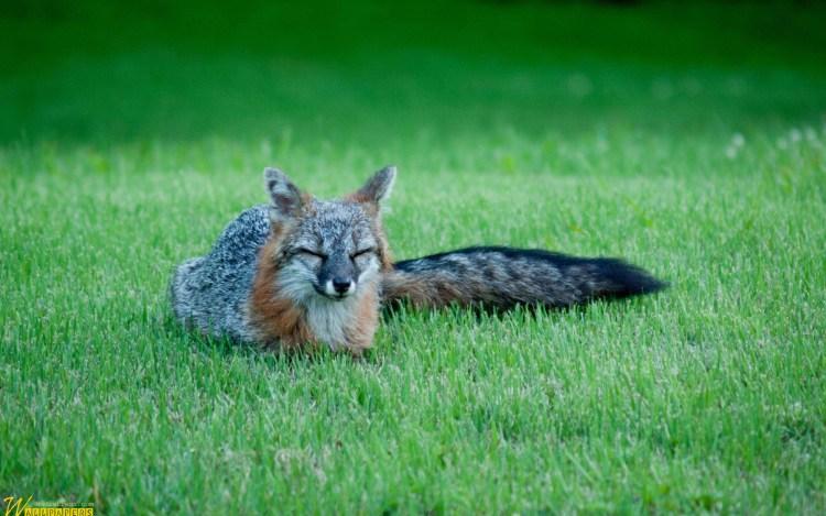 cute-gray-fox-full-hd-wallpaper