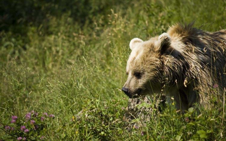 Fantastic Bear Amid The Green Fields 4k Wallpaper