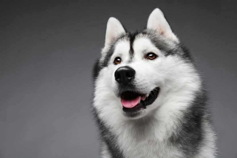 Mind Blowing Laughing Siberian Husky Dog Face And Red Nice Eyes