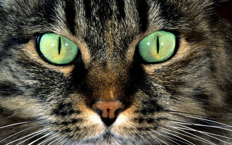 strange-strong-eyes-of-a-stunning-cat-full-hd-wallpaper