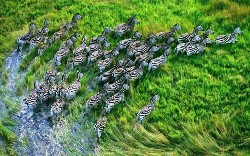 Stunning Big Swarm Of Zebras 4k Wallpaper