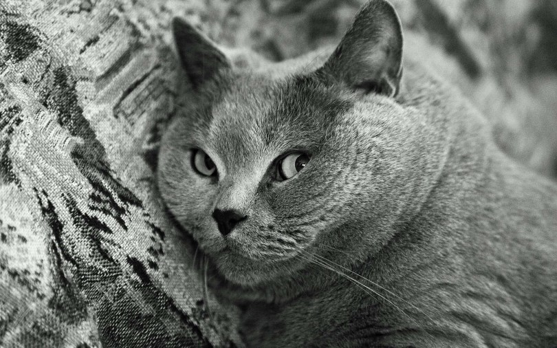stunning-black-and-white-gray-cat-4k-wallpaper