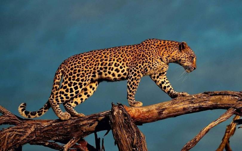 Stunning Leopard Walks On The Large Branch Full Hd Wallpaper