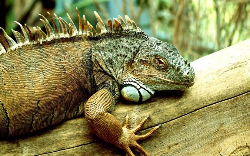 stunning-little-iguana-green-colour-hd-wallpaper