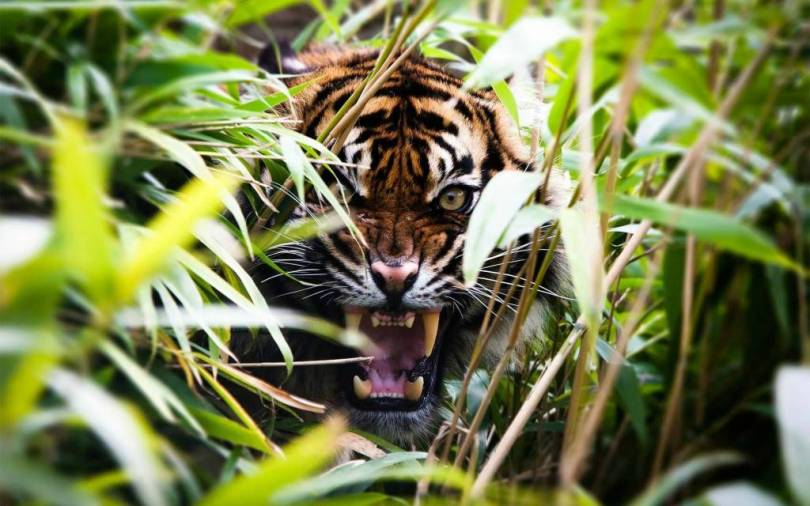 stunning Tiger Behind The Green Grass in 4k Wallpaper