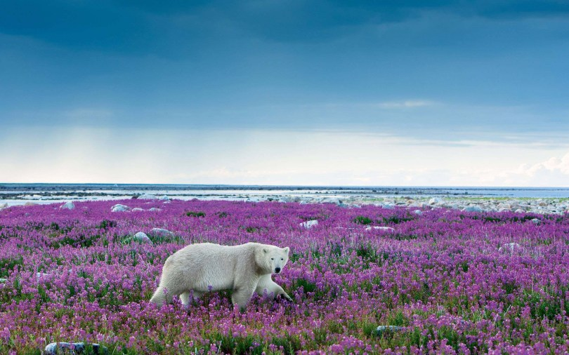 stunning-white-bears-among-the-many-flowersfull-hd-wallpaper