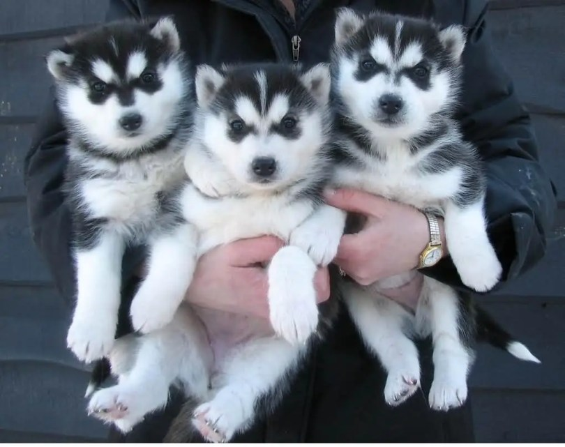 Three Cool Siberian Husky Dog Puppies