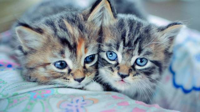 Very Cute Baby Kittens With Blue Eyes Full Hd Wallpaper