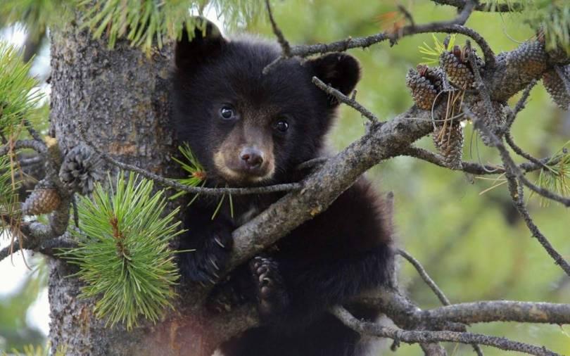Very Cute Bear Cub Full Hd Wallpaper