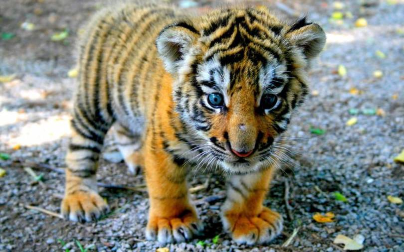 Very Cute Little Baby Tiger 4k Wallpaper